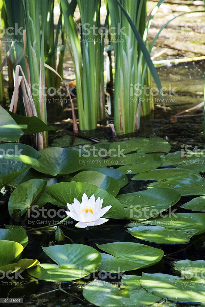 Waterlily in the Pond royalty-free stock photo