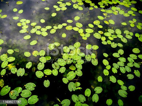 Bright green water lily leaves with yellow buds (Nuphar lutea) on dark water in the moat at Kastellet in Copenhagen, capital of Denmark.