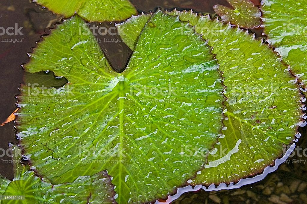 Waterlily Leaves royalty-free stock photo