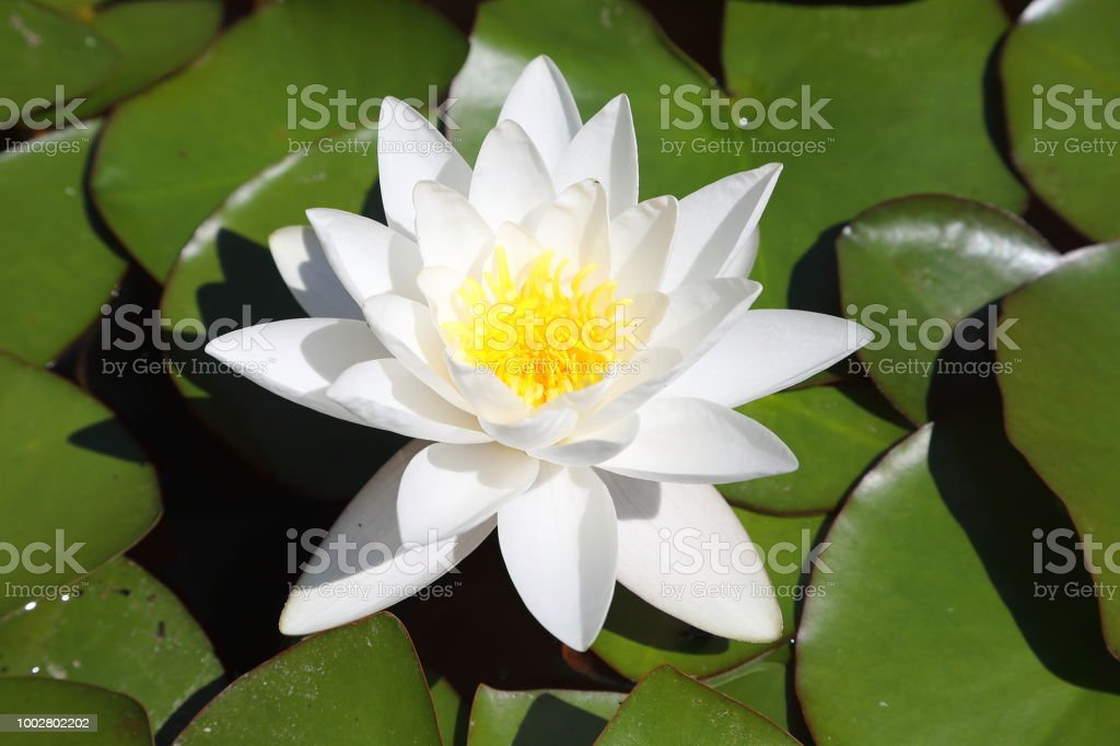 Waterlily - Nymphaea stock photo