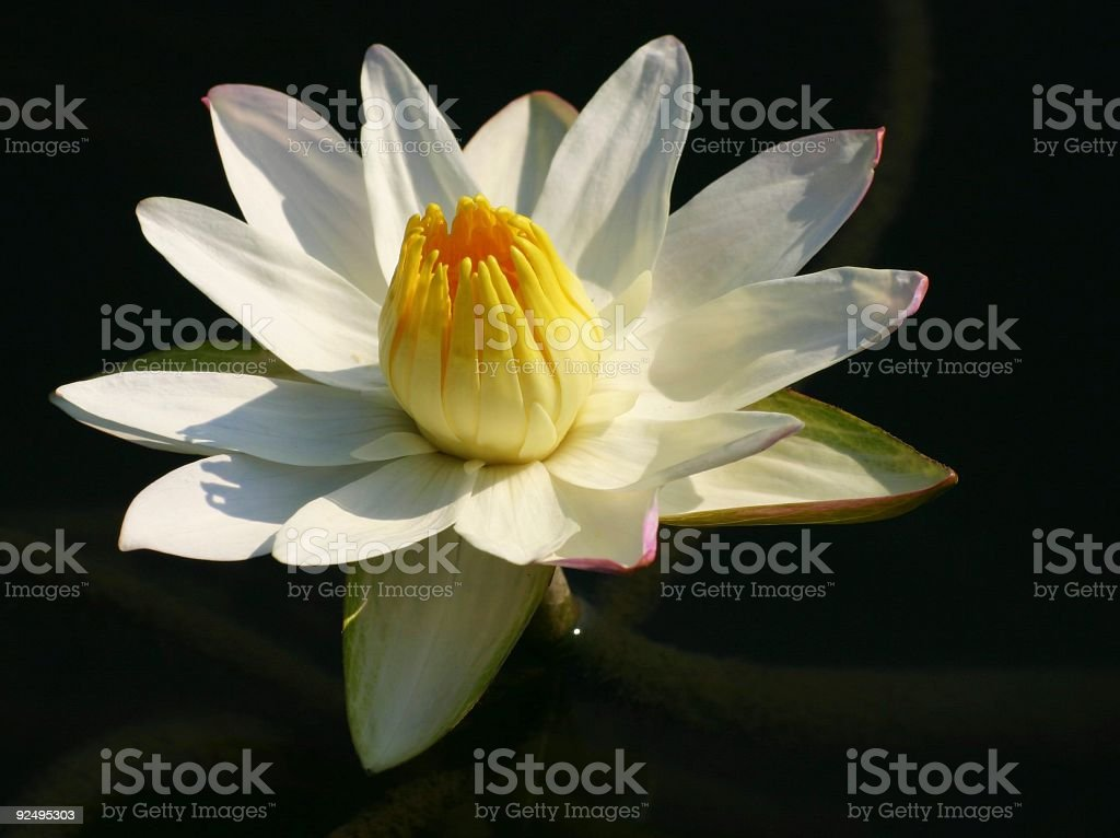 Waterlily on black royalty-free stock photo