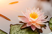 Beautiful  waterlily or lotus flower blooming in the pond