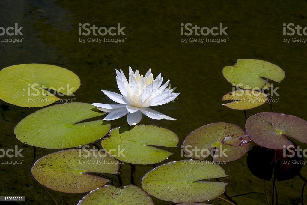 Waterlily, Sideview royalty-free stock photo