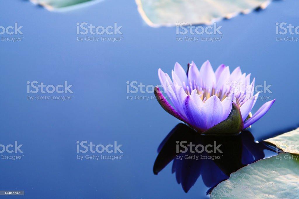 Waterlily con Copyspace - Foto de stock de Agua libre de derechos