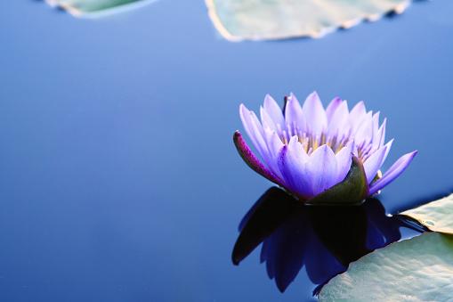 Waterlily Con Copyspace Foto de stock y más banco de imágenes de Agua