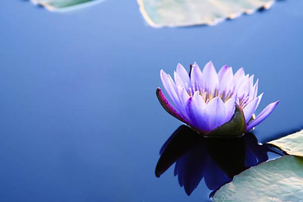 Waterlily con Copyspace - foto de stock