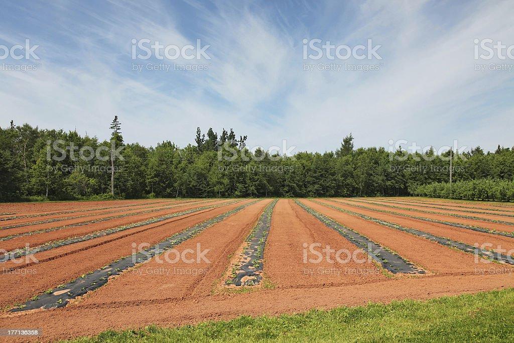 Watermelon Farm royalty-free stock photo