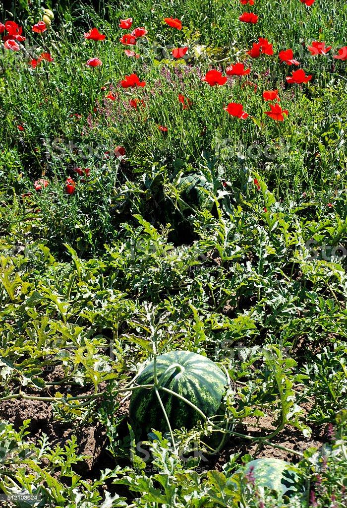 watermelon field in albania stock photo