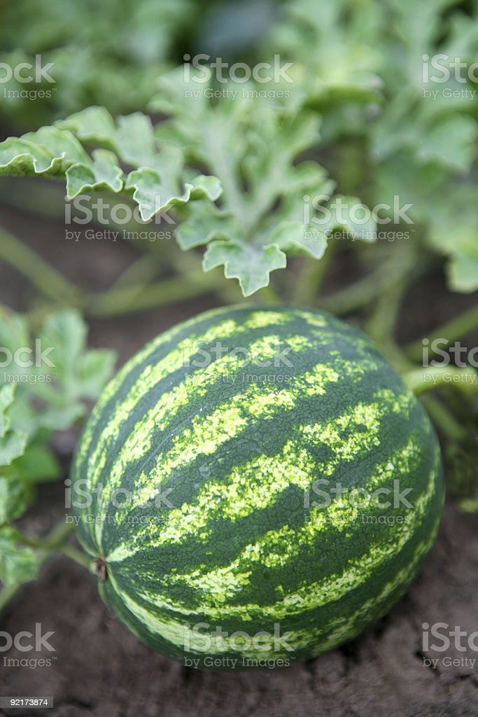 watermelon in the garden royalty-free stock photo