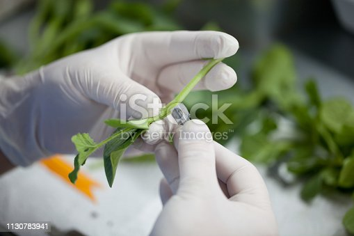 Watermelon inoculation to pumpkin seedlings, Seedling In Greenhouse, Agriculture, Cultivation, Production, Nutrition