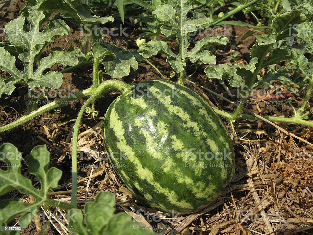 Watermelon On Vine royalty-free stock photo