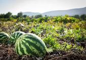 istock Watermelon 162353134