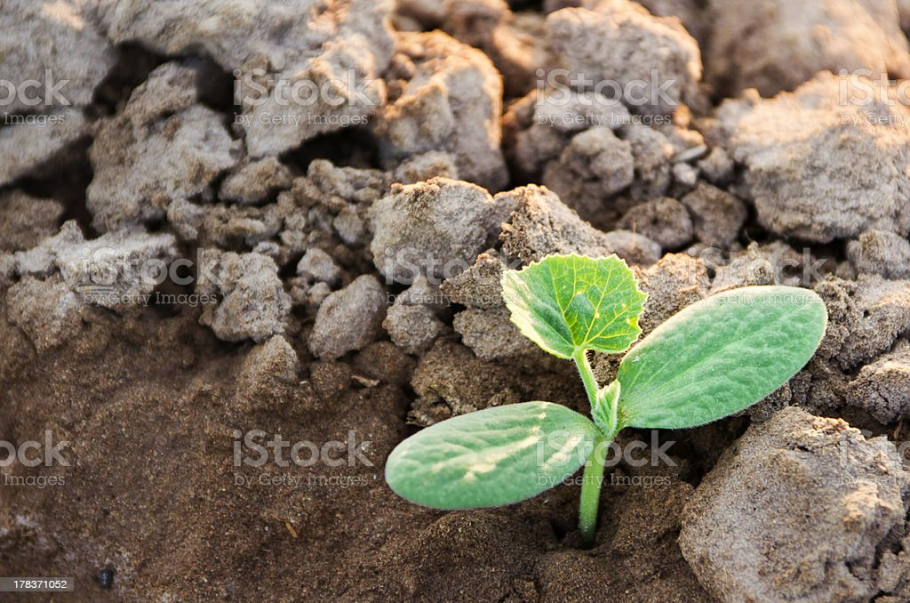 Watermelon sprouted royalty-free stock photo