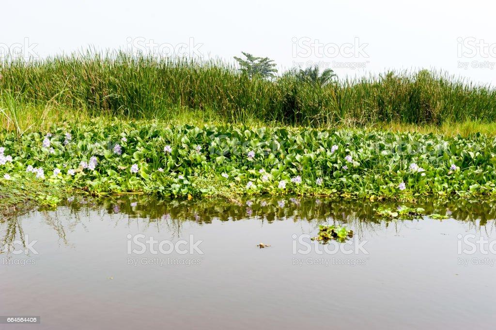 Waterplants at Lake Nokoue, Benin stock photo