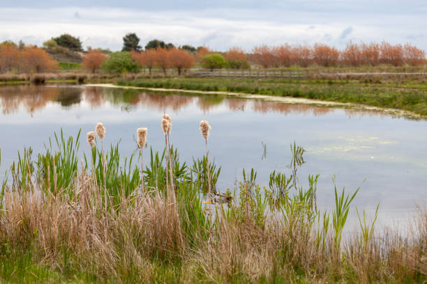 Waterplants at the side of a tranquil lake in Picardy, France stock photo