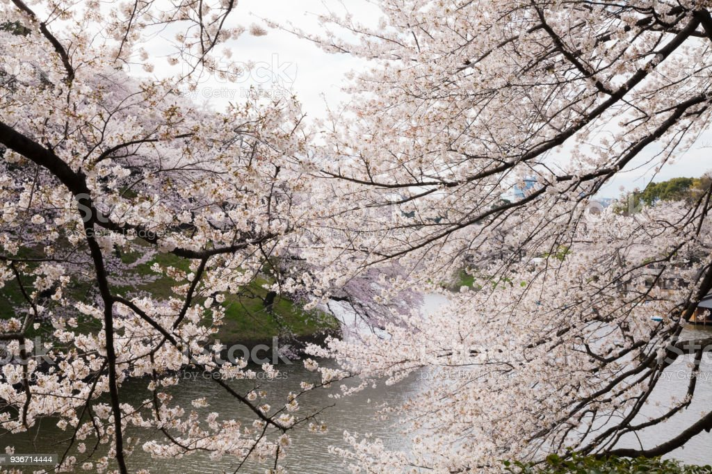 waterside cherry blossoms in the springtime stock photo