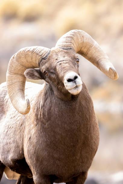 Waterton Bighorn stock photo