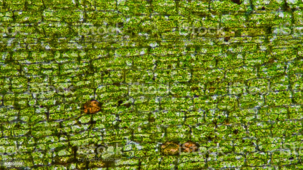 Waterweed cells tissue. stock photo