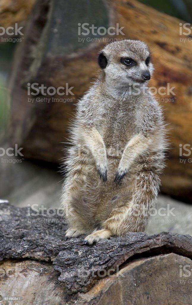 Watichng Meerkat royalty-free stock photo