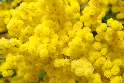 A Wattle Bloom in Soft Focus. This is a Black wattle (A. mearnsii). The Acacia melanoxylon is the most widely introduced and planted Acacia species in New Zealand. It is often considered a weed, and is seen as threatening native habitats by competing with indigenous vegetation and reducing native biodiversity.