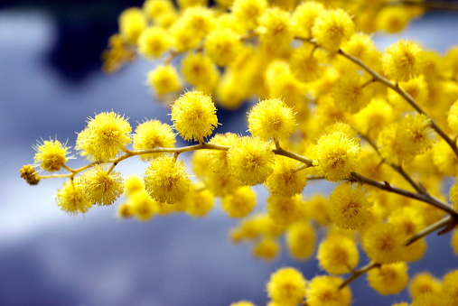 mearnsii). The Acacia melanoxylon is the most widely introduced and planted Acacia species in New Zealand. It is often considered a weed, and is seen as threatening native habitats by competing with indigenous vegetation and reducing native biodiversity.