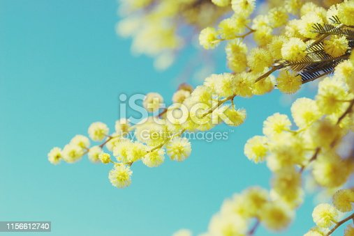 Beautiful Wattle Blooms in Springtime close-up.