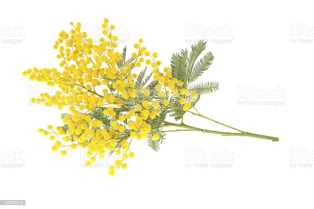 Wattle branch isolated on white stock photo