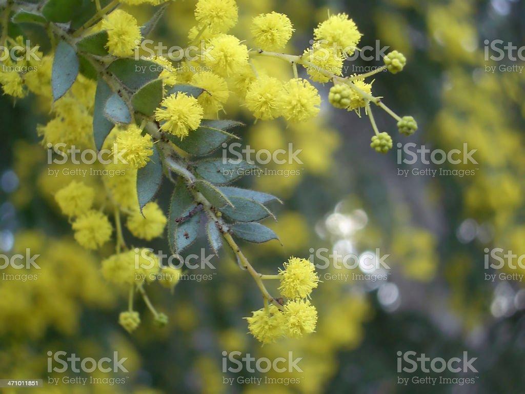 Wattle Branch stock photo