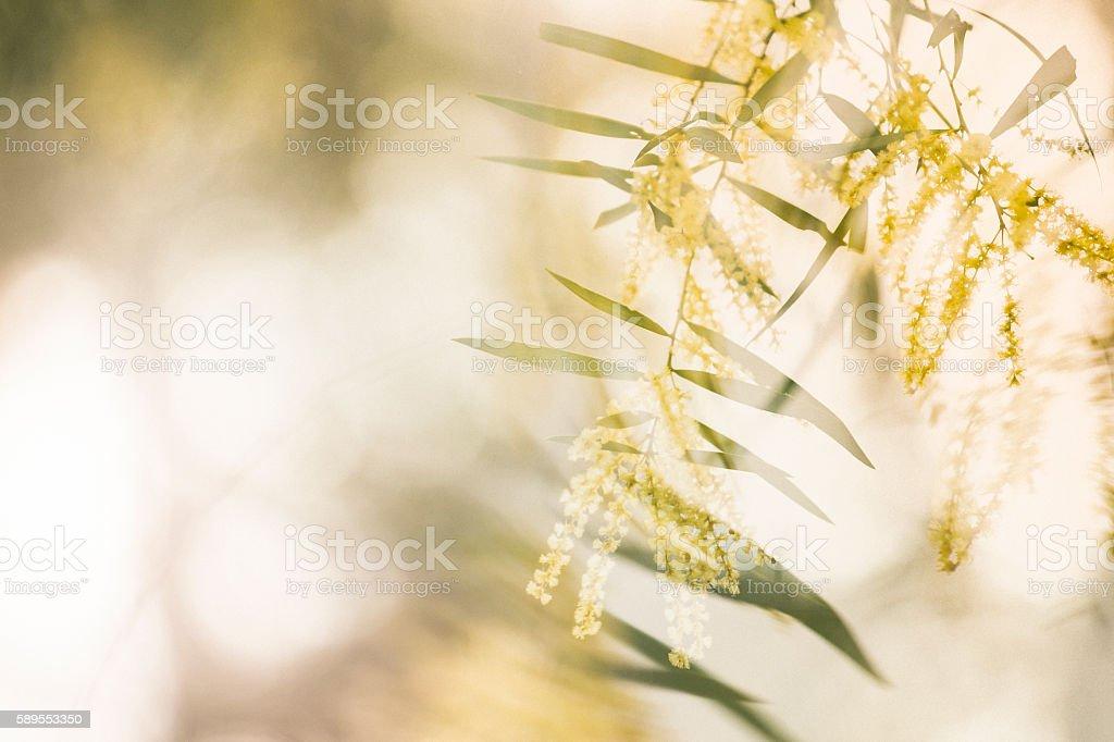 Wattle Breeze stock photo
