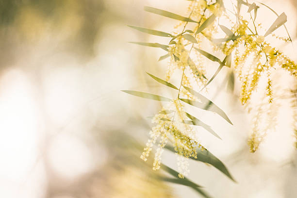 Wattle Breeze stock photo