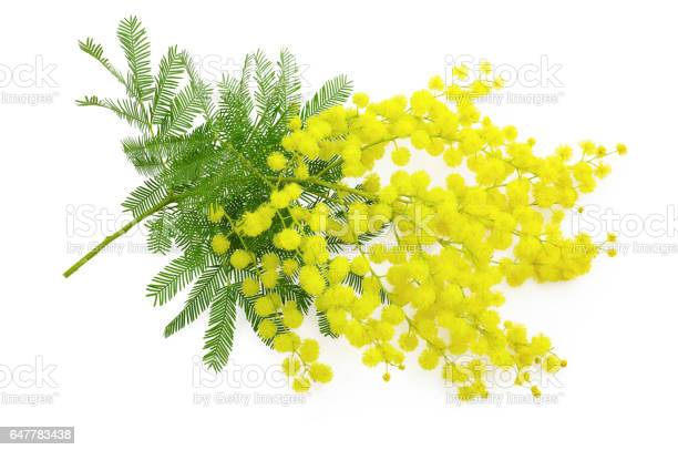 Wattle flower mimosa branch 8 march symbol women international day picture id647783438?b=1&k=6&m=647783438&s=612x612&h=nrykocc6im5oc5nsdevkwitjsdoykdxmge70u0nljw0=