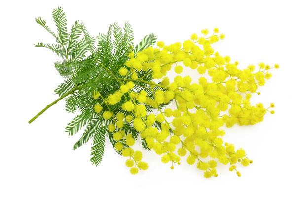 wattle flower mimosa branch, 8 march symbol , women international day - immagini mimosa 8 marzo foto e immagini stock