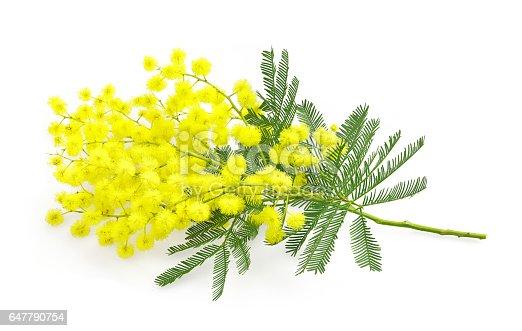 istock Wattle flower  mimosa branch, symbol  8 march, women international day, 647790754