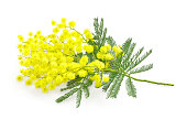 Wattle flower or mimosa branch, symbol of 8 march women international day, on white background