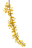 Australian Wattle (acacia) flowers on white background