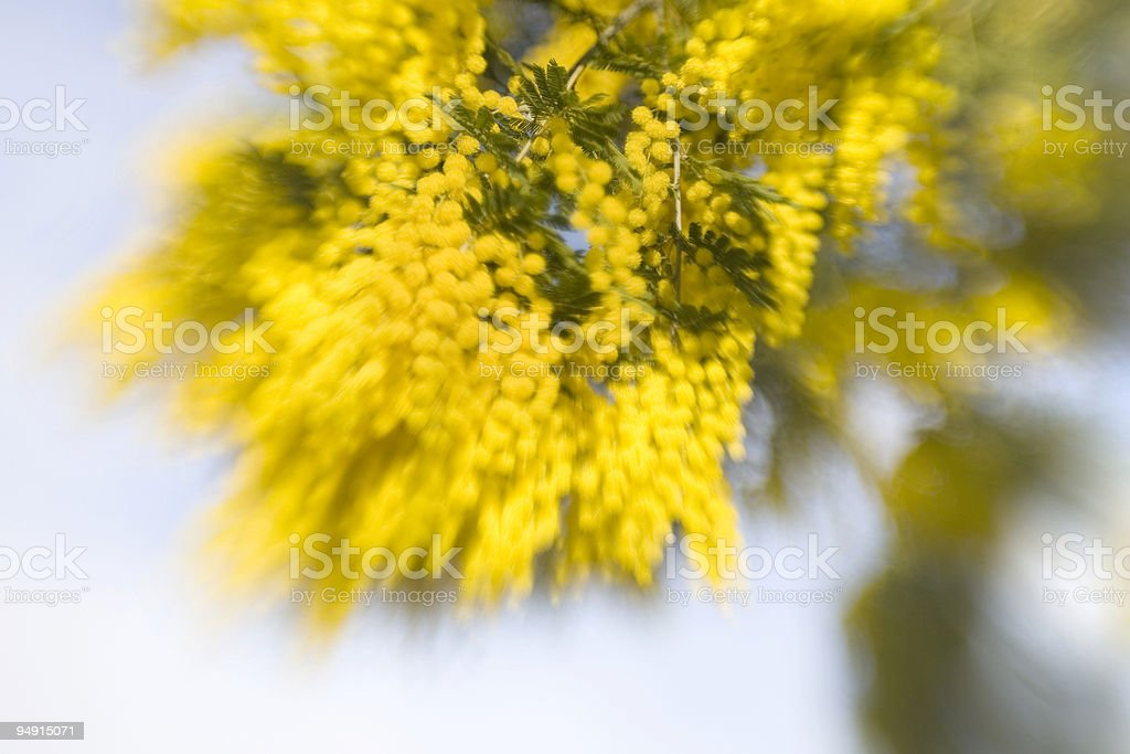 wattle stock photo