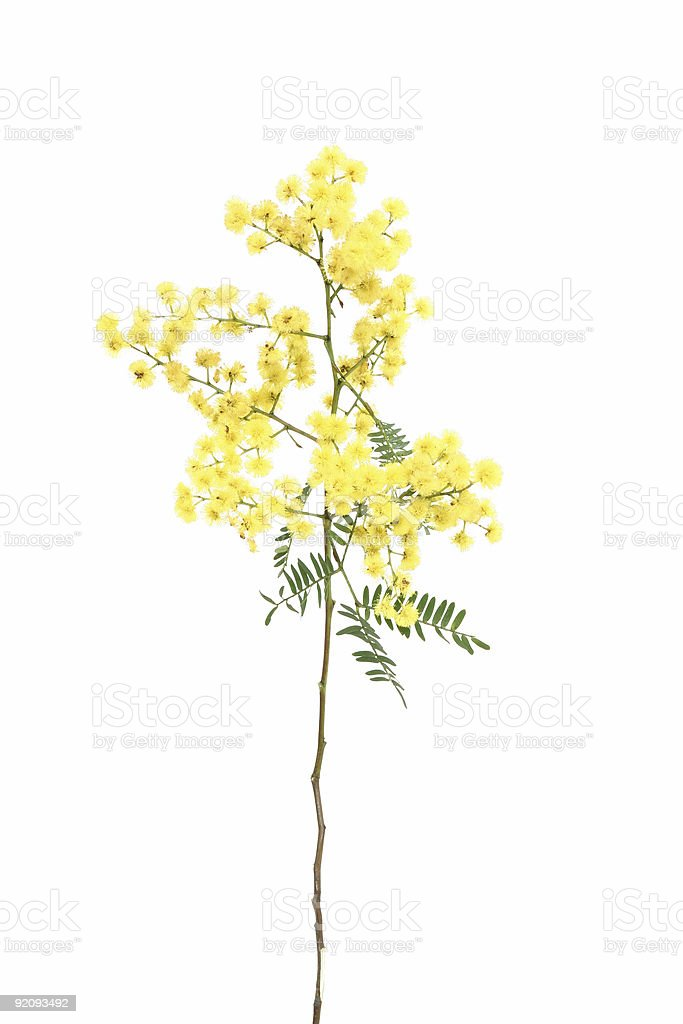 Wattle sprig stock photo