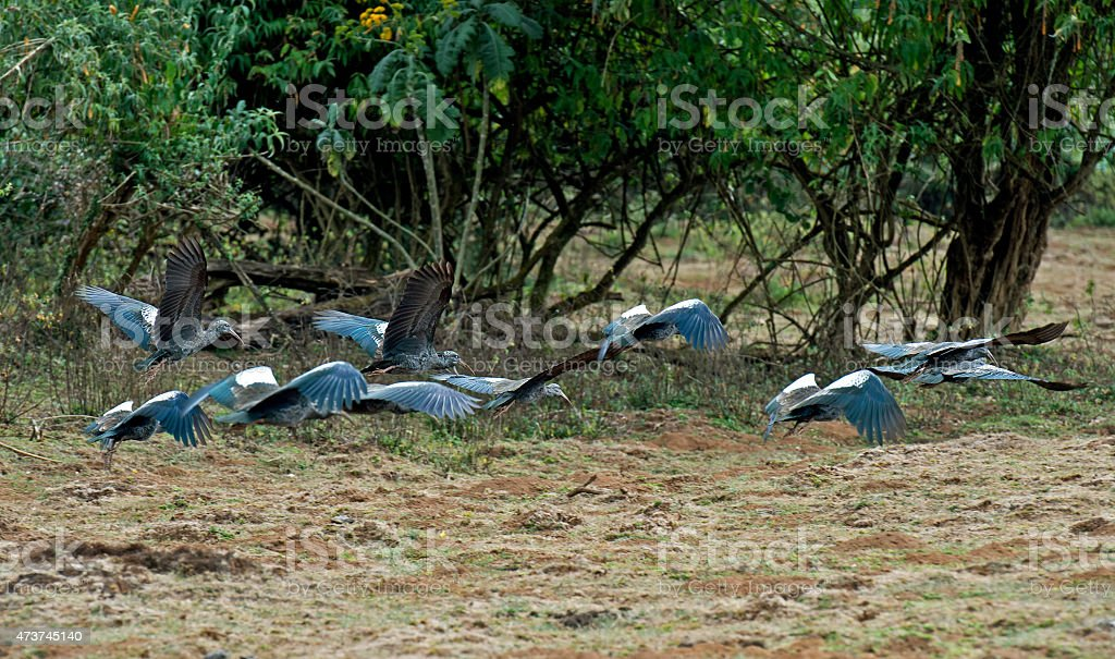 Wattled Ibis stock photo