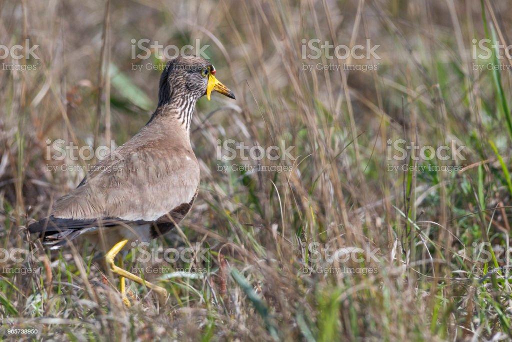 Chalinolobus Kievit in het lange gras - Royalty-free Afrika Stockfoto