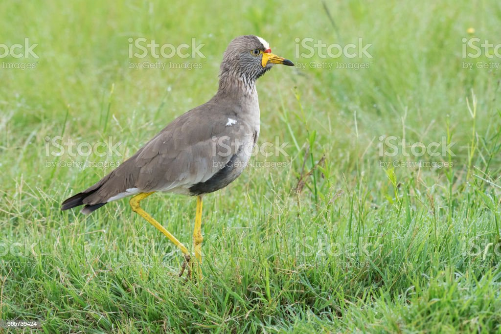 Wattled lapwing on one leg - Royalty-free Africa Stock Photo