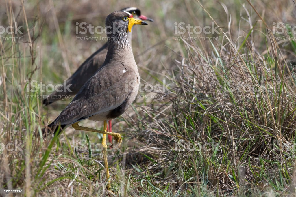 Wattled lapwing with crowned lapwing - Royalty-free Africa Stock Photo