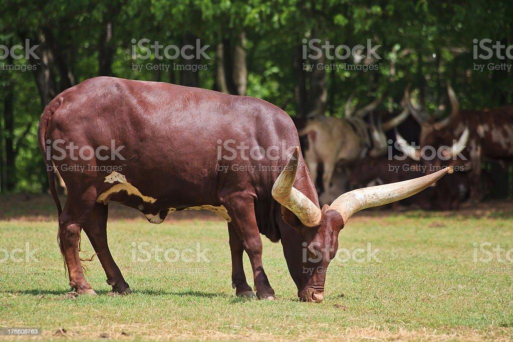 Watusi Cattle royalty-free stock photo