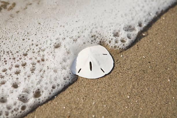 welle waschen auf einem sand dollar - sanddollars stock-fotos und bilder