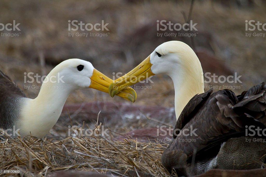 Albatros ondulado cortejar - foto de stock