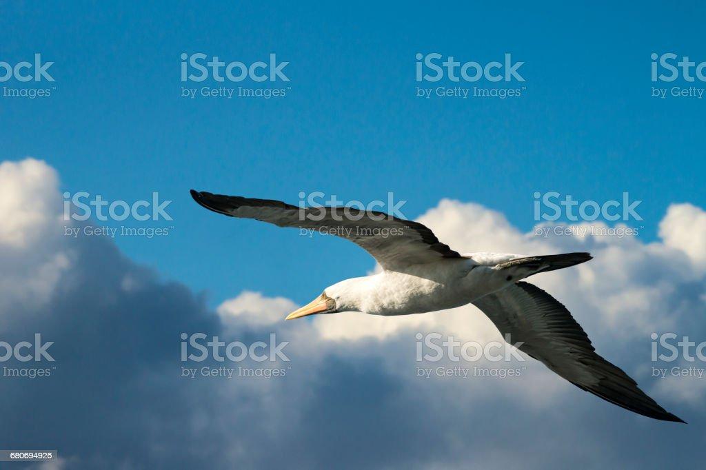 Agitaban Albatros volando a las Islas Galápagos - foto de stock