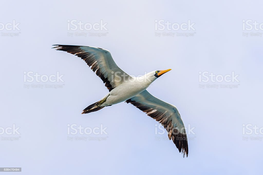 Waved albatross flying in Galapagos stock photo