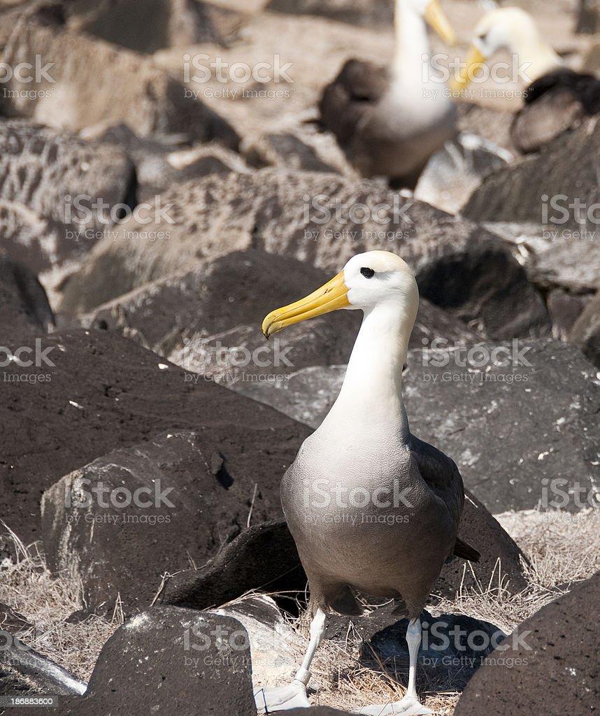 Albatros ondulado en las rocas - foto de stock
