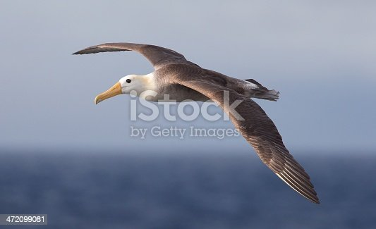 Waved Albatross (Phoebastria irrorata) in the Galapagos Island