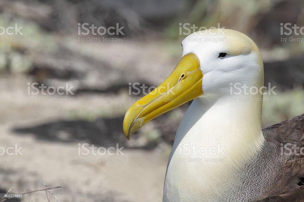 Waved albatross (Phoebastria irrorata) stock photo