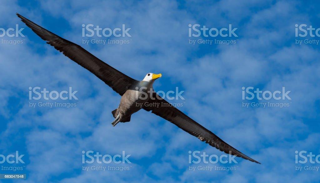 Galapagos-Albatros – Foto